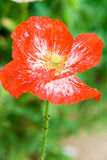Red poppy with water drops Royalty Free Stock Image