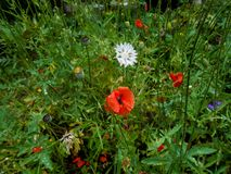 Red poppy waving in the wind on a clearing among the daisies and Royalty Free Stock Images