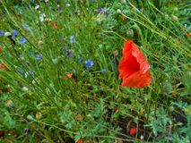 Red poppy waving in the wind on a clearing among the daisies and Royalty Free Stock Photo