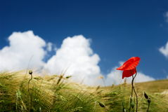 Red poppy and wheat. Red poppy in a wheat field under blue sky stock images