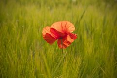 Red poppy in wheat field Royalty Free Stock Photography