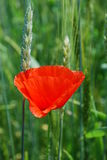 A red poppy. Is in the wheat field Royalty Free Stock Photos