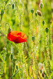 Red poppy in the wheat field. Big red poppy flower in the green wheat field in summer close up Royalty Free Stock Image
