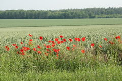 Red poppy and wheat field in France. Red poppy and wheat field in Aisne, Picardie in north of France stock images