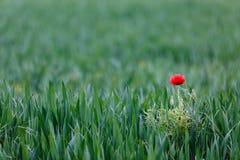 Red poppy in wheat field. Stock Photo