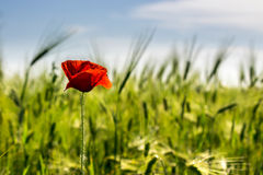 Red poppy in the wheat field. One big red poppy flower in the green wheat field in summer Royalty Free Stock Image