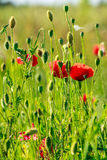 Red poppy in the wheat field. One big red poppy flower in the green wheat field in summer Royalty Free Stock Photo