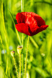 Red poppy in the wheat field. One big red poppy flower in the green wheat field in summer Stock Photo