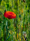 Red poppy in the wheat field. One big red poppy flower in the green wheat field in summer Royalty Free Stock Photography