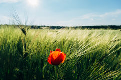 Red poppy in wheat field Stock Images