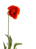 Red poppy on a white background Royalty Free Stock Photo