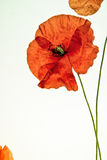 Red Poppy on White Background Royalty Free Stock Photography