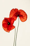 Red Poppy on White Background Stock Photography