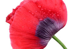 Red poppy on a white background Stock Photos