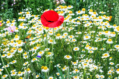 Red poppy among white daisies Stock Images