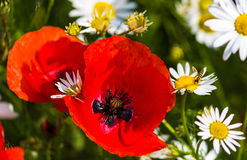 Red poppy and white daisies Stock Image