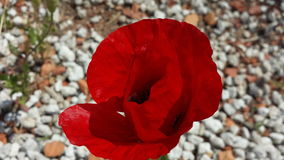 red poppy on white pebble royalty free stock image