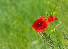 Red poppy in wild field Stock Photo