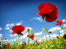Red poppy and wild flowers Stock Photos