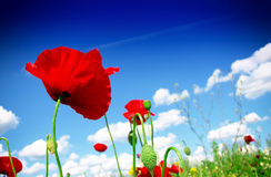 Red poppy and wild flowers Royalty Free Stock Photo