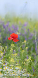Red poppy and wild flowers Stock Images
