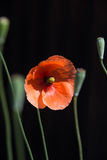 Red poppy. A wild red poppy in a garden in the UK Stock Photography