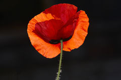 Red poppy on wind Stock Image