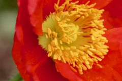Red poppy macro background texture. Red poppy with yellow center macro background stock photography