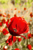 Red poppy on yellow spring meadow1. Red poppy on yellow spring meadow Royalty Free Stock Photo