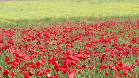 Red poppy and yellow wild flowers stock footage