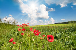 Red poppys on a field Stock Images