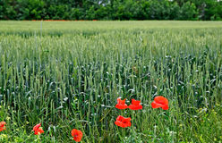 Red poppys and rye. Stock Photos