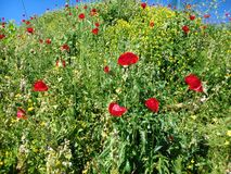 Red Poppys in a Wild Flower Border. Red poppy flowers among yellow wild flowers and nettles on a high bank Stock Photo