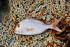 Red Porgy marine fish on fishing tackle background Royalty Free Stock Photos