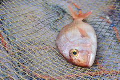 Red Porgy popular marine cultured fish on fishing nets Stock Photography