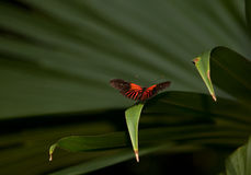 Red Postman Butterfly stock images