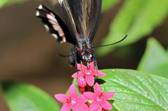 Red Postman Butterfly Stock Image