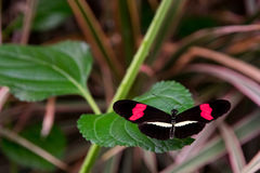 Red postman butterfly, casually sitting on a leaf. royalty free stock photos