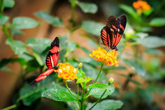 Red Postman Butterfly or Common Postman (Heliconius melpomene) Royalty Free Stock Photo