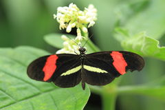 Red postman butterfly. On the flowering plant royalty free stock images