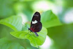 Red Postman butterfly Heliconius Erato Notabilis Royalty Free Stock Photography