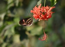 Red postman butterfly royalty free stock image