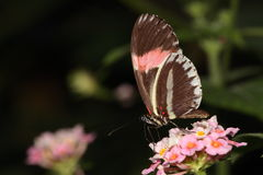 Red postman butterfly. royalty free stock image