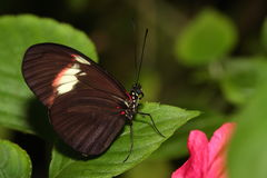 Red postman butterfly. Stock Photography