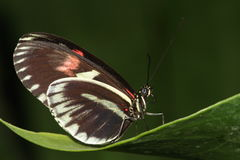 Red postman butterfly. Stock Photo