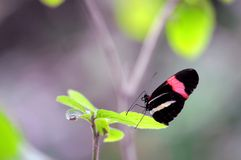 Red Postman (Heliconius) butterfly Royalty Free Stock Photo