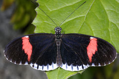 Red postman, heliconius erato Stock Image