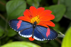 Red postman, heliconius erato Stock Photo