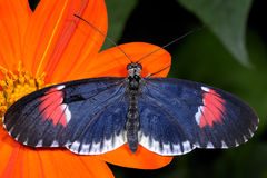 Red postman, heliconius erato Royalty Free Stock Photos