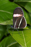 Red postman, heliconius erato Royalty Free Stock Photography